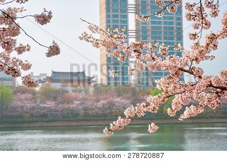 Blooming sakura cherry blossom branch with skyscraper building in background in spring, Seoul, South Korea