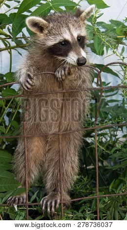 A Cute Baby Raccoon Clinging To A Rusty Iron Fence With Her Tummy In Clear View.