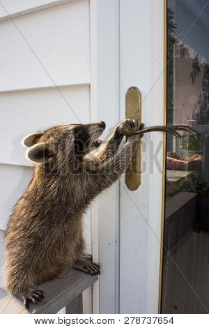 An Adorable Baby Raccoon Trying To Get In The Door Of A White Sided House.