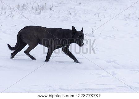 Wary Black Stray Mixed Breed Dog Running On A Fresh Snow