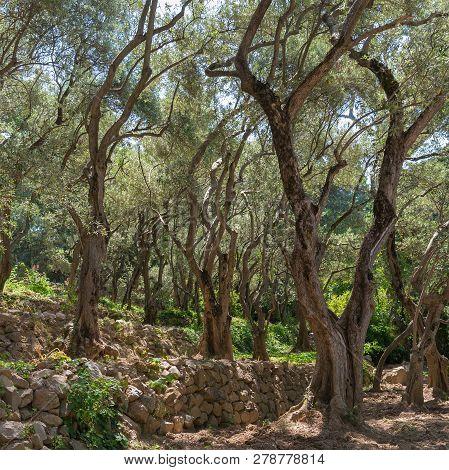 Olive-tree Path In Nikitsky Botanical Garden (one Oldest Botanical Gardens In Europe), Crimean Penin