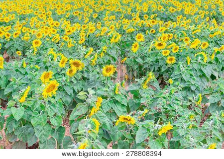 Field Of Blooming Sunflowers In Countryside.fresh Sunflower.