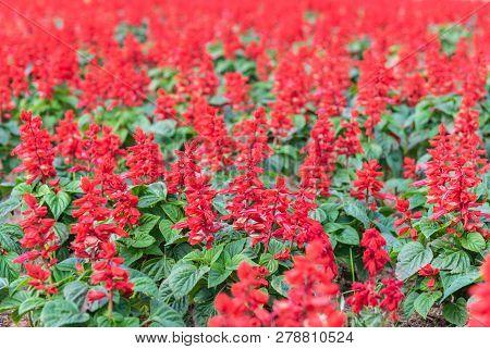 Field Of Beautiful Red Flower In Garden.