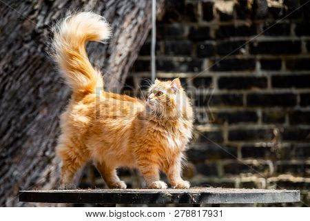 A Ginger Cat Standing On A Garden Table Looking Over Its Shoulder With Its Tail In The Air Against A