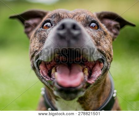 An Older Staffy Portrait Smiling At The Camera. Close Shallow Focus.