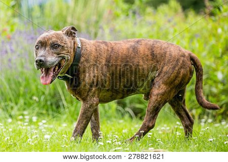 An Older Staffy Walking Beside Wildflowers Over Daisies In The Grass.