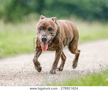 An Older Staffy Portrait Walking Along A Path In The Countryside Looking At The Camera