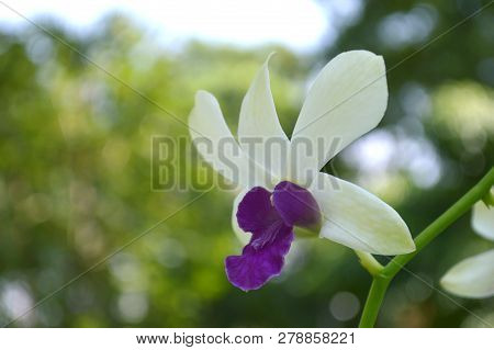 White And Purple Bicolor Dendrobium Orchid, Central Of Thailand