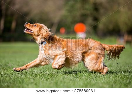 Spaniel Puppy Looking Up Trying To Catch An Unseen Ball Or Stick Jumping Over Grass In A Park. A Sun