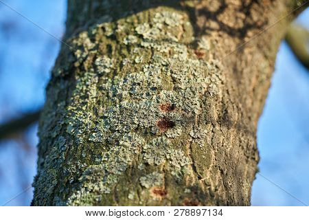 A Tree Infested By The Asian Longhorn Beetle In Magdeburg In Germany. The Beetle Is Spreading Around