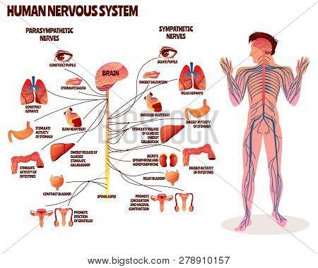 Human Nervous System Illustration. Cartoon Design Of Man Body With Brain Parasympathetic And Sympath