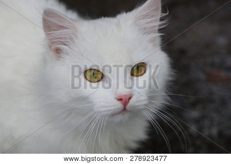 Head Of A White Fluffy Beautiful Cat On A Gray Background