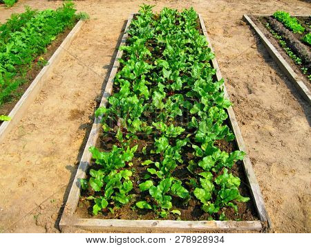 Vegetable Garden Bed Of Beet Leaves. Raised Bed Beet Leaves Salad Lettuce Carrot Vegetable Garden Co