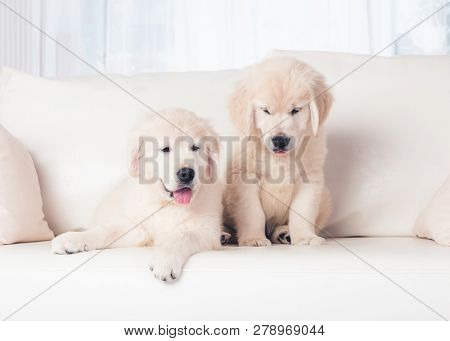 Two cute fluffy puppies on sofa at home