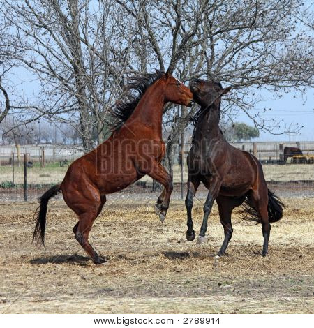Horses  Rearing