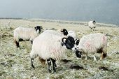 Sheep in the Yorkshire Dales out in the snow. poster