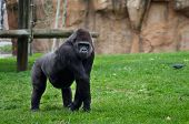Large gorilla posing and looking at the camera over a green grass field. poster