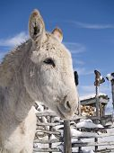 A white donkey next to a traditional southwestern latilla fence winter landscape. poster