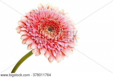 Gerbera Pink Flower Isolated On White Background