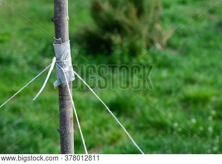 A Close-up On Tying A Young Tree With String With A Risk To Damage Bark And Trunk When Staking A Tre