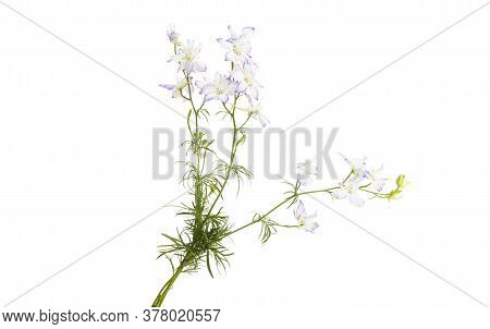 Meadow Flower Botany Isolated On White Background