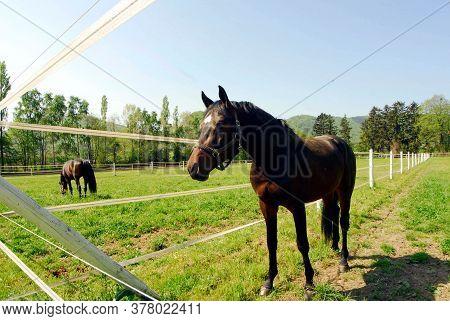 Brown Horses On A Horse Paddock, Green Meadow In The Summer