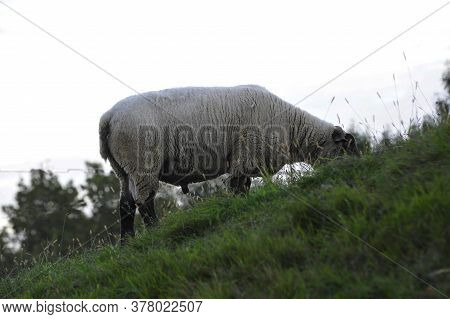 White Woolly Sheep Grazing On A Green Hilly Pasture In The Mountains