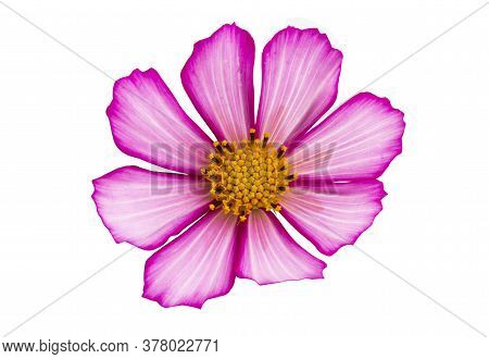 Beautiful Cosmea Flower Isolated On White Background