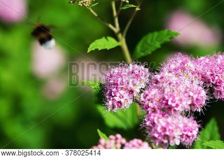 Floral Surface. Pink Inflorescence And Leaves Of Japanese Spirea Bush. The Color Of The Leaves From