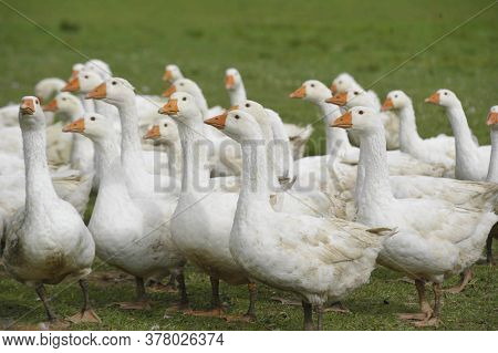 A Gaggle Of White Geese Walking On A Green Meadow
