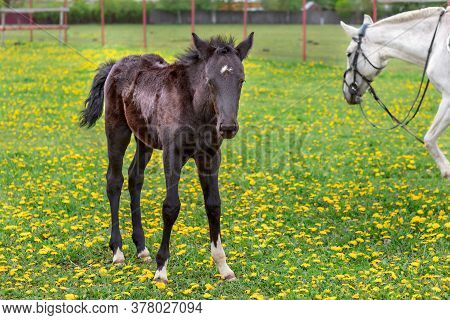 Soft Focused Portrait Of A Foal With Brown And Black Fur Standing In A Green Meadow With Yellow Flow