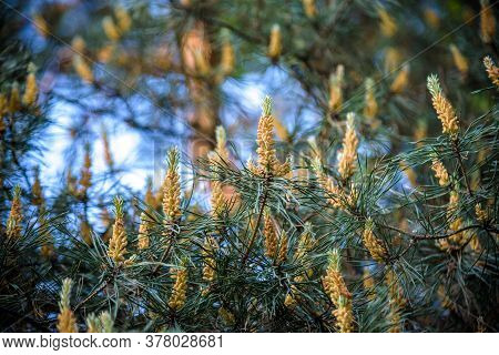 Fresh Succulent Young Shoots Of Pine Trees Among The Green Long Pine Needles. Spring Flowering Spruc