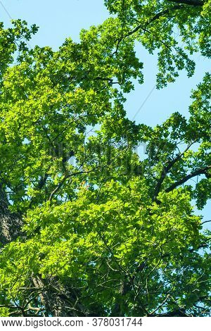 Green Crowns Of Tall Trees Against The Blue Sky. Abstract Natural Vegetative Background. Template Fo
