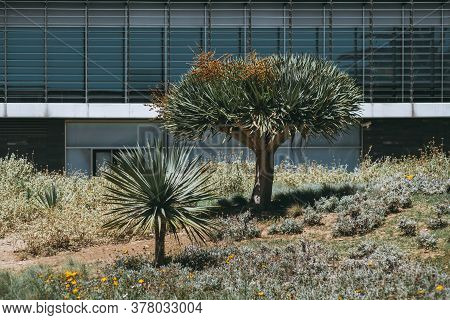 Two Branchy Young Dragon Trees In Front Of A Facade Of A Modern Office Building; Beautiful Plants Of