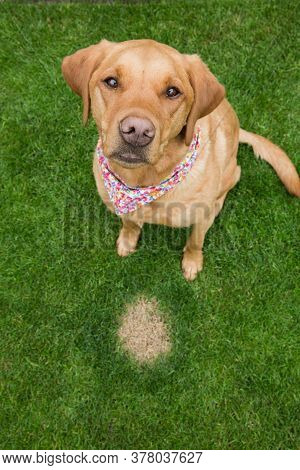 A Guilty Looking Pet Dog Sitting Next To A Burnt Patch Of Dead Grass Caused By Excessive Amounts Of
