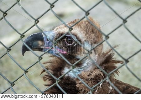 The Bird Of Prey, Black Vulture, Monk Vulture, Or Eurasian Black Vulture, Sits In The Aviary. The Ci