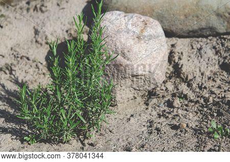 Organic Food. Bright Green Rosemary Bush Grows In Natural Open-air Environment