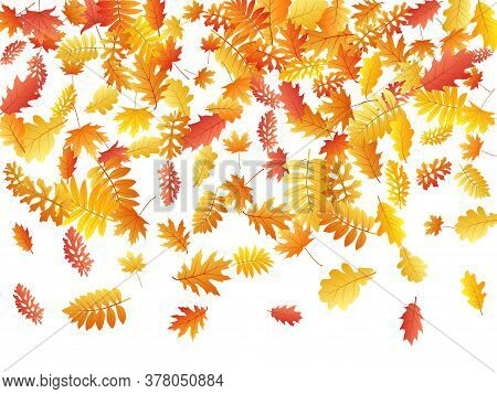 Oak, Maple, Wild Ash Rowan Leaves Vector, Autumn Foliage On White Background. Red Orange Yellow Sorb