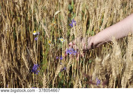 Regenerative Agriculture. Rye Crop Field. Harvest On The Farm. Stems With Seeds For Grain Bread In F