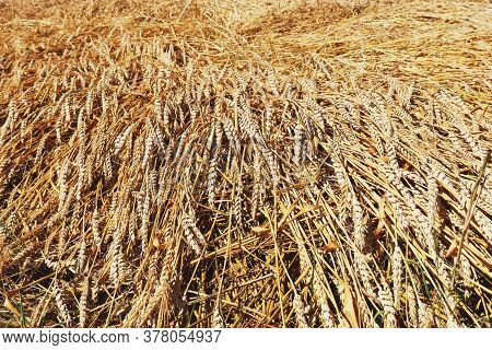 Regenerative Agriculture. Rye Crop Field. Harvest On The Farm. Yellow Golden Summer Landscape. Surya
