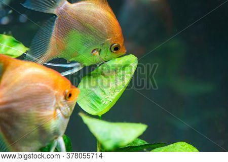 Pair Of Gold Pterophyllum Scalare In Aqarium, Yellow Angelfish Guarding Eggs. Roe On The Leaf. Selec