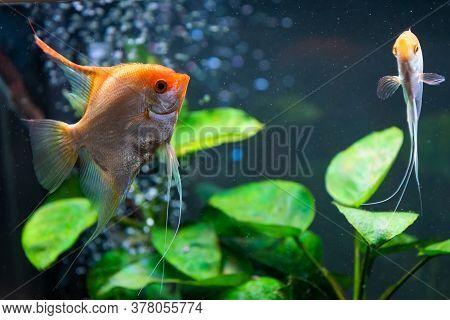 Pterophyllum Scalare In Aqarium Water, Yellow Angelfish