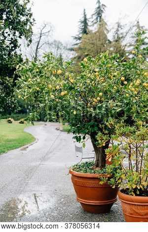 Lemon Tree In A Clay Pot With A Lot Of Yellow Lemon Fruits.