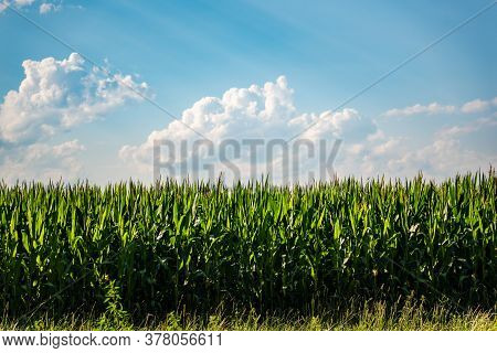 Rows Of Maize In Rural Area Against Blue Sky In Summer. Agriculture Background