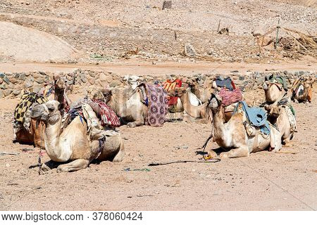 A Group Of Beautiful Egyptian Camels Relax Before A Long Ride. Perfect Photo For Excursions And Guid