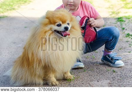 Preschooler Kid Girl Training Dog On The Street. Baby Teaches Spitz Obedience. Child Walking With Pe