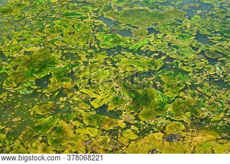 Algae Pattern On The Surface Of A Stagnant Pond