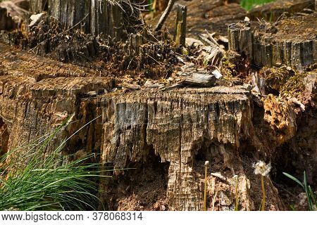 Detail Of A Weathered Old Tree Stump