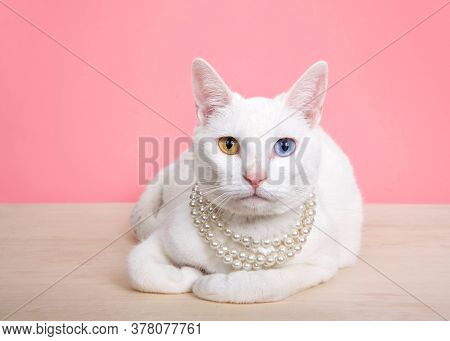 Close Up Of A White Khao Manee Cat With Heterochromia Wearing A Pearl Neclace, Laying On A Wood Tabl