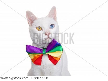 Portrait Of A White Khao Manee Cat With Heterochromia Wearing A Rainbow Colored Bow Tie Looking Slig